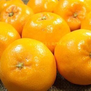 春みかん「はるみ」5kg(紀州有田産)訳ありB級選別品・サイズ不選別果実    わけあり 訳あり 不揃い プチプチ果実で人気です|bunza|04
