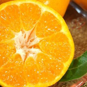 春みかん「はるみ」5kg(紀州有田産)訳ありB級選別品・サイズ不選別果実    わけあり 訳あり 不揃い プチプチ果実で人気です|bunza|05