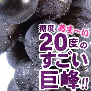 巨峰村・朝穫り(即日発送)紀州和歌山金屋産 巨峰ぶどう  4kg(ハウス栽培) |bunza