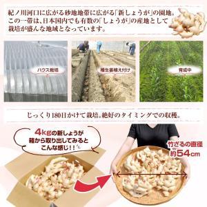 フレッシュ新しょうが4kg入和歌山県産 新生姜 産地直送 自家製 甘酢漬け、紅ショウガ、生姜湯、砂糖漬けに|bunza|02