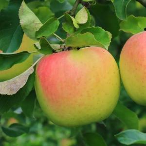 長野県産 ぐんま名月(りんご) 2kg|送料込|busan-nagano