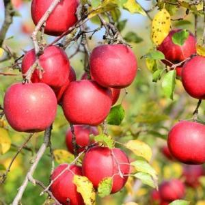 りんご ジョナゴールド 5kg 18玉 送料無料 国産 山形産  bussan10 03
