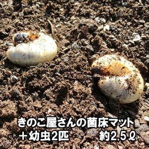 きのこ屋さんの菌床マット カブトムシの幼虫2匹付き 昆虫マット 約2kg 無農薬 bussan10