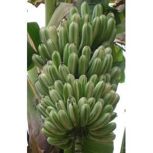 斑入りバナナ苗 Musa aeae|bussannet