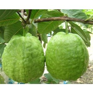 グアバ苗 種無しグァバ接木 bussannet