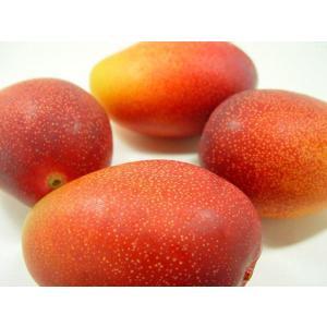 マンゴー苗 アップルマンゴー接木(アーウィン種) 1年苗 bussannet