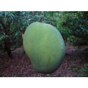 インドマンゴー苗 バンガナパッリ種マンゴー接木 1年苗|bussannet|02