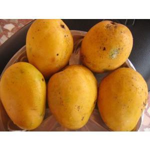 インドマンゴー苗 バンガナパッリ種マンゴー接木 1年苗|bussannet|03