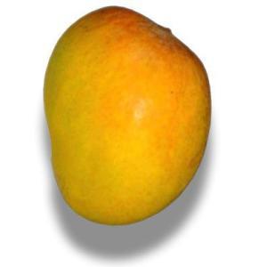 インドマンゴー苗 アルフォンソ種マンゴー接木 1年苗 bussannet