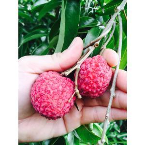 ライチ苗 チャカパットレイシ取木|bussannet