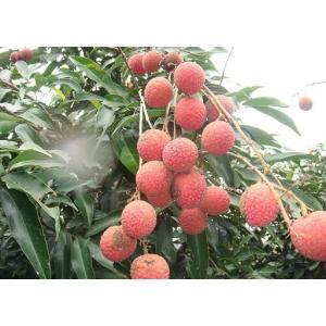 ライチ苗 種無しレイシ特大取木|bussannet