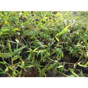 食用タケノコ 緑竹取木|bussannet|03