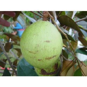スターアップル取木|bussannet