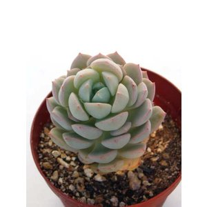 """多肉植物 学 名 Echeveria """"Gunngetsuka"""" 流通名 群月花(ぐんげつか)、群月..."""