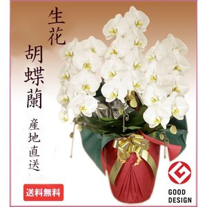 胡蝶蘭 特大 3本立白27-30輪 開店祝い 誕生日 当選祝い|cafura