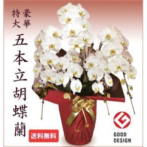 胡蝶蘭 特大 5本立て 白45-50輪 開店祝い 誕生日 当選祝い|cafura