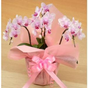 ミニ胡蝶蘭 ピンク 3本立て 誕生日祝い|cafura