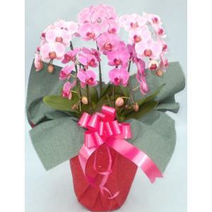 ミニ胡蝶蘭 ピンク 5本立て 誕生日祝い|cafura