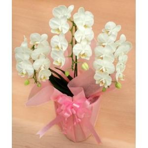 ミニ胡蝶蘭 白 3本立て 誕生日祝い|cafura