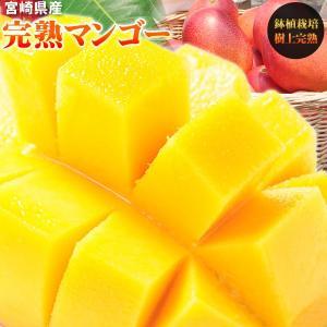 送料無料 【宮崎県産 完熟マンゴー 家庭用700g以上】2玉...