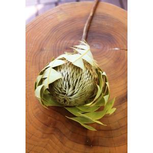 バンクシア・バクステリ Banksia Baxteri (ドライフラワー)|caroblanc
