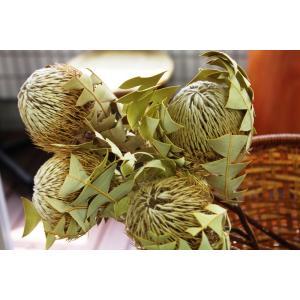 バンクシア・バクステリ Banksia Baxteri (ドライフラワー)|caroblanc|02