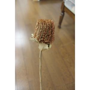 バンクシア・スカーレット Banksia Coccinea (ドライフラワー)|caroblanc