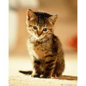 子猫 ポスター|catstyle