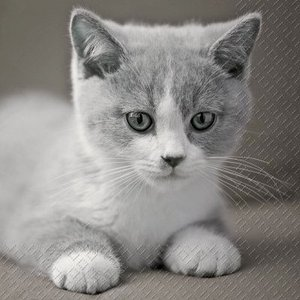 Stewo スティーボ社 スイス ペーパーナプキン かわいらしい猫 Mignon バラ売り2枚1セット L-72-7151-65 デコパージュ ドリパージュ|ccpopo