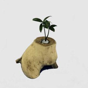 土なし 清潔 水やり簡単 奥出雲「もののけ姫」の森 木製容器 + セラハイト ナギの木 第六弾|ceraphyto-world