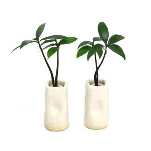 土なし 清潔 水やり簡単 セラハイト 『良縁を結ぶ梛(ナギ)の木』と 陶房「うさぎ庵」特製 『陶製角筒水盆器』 2個セット|ceraphyto-world
