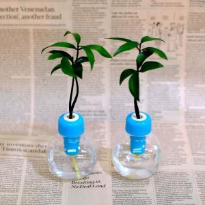 セラハイトご神木ナギの木とカラフル容器 2セット 合格祈願・勉強運アップ|ceraphyto-world