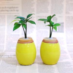 土なし 清潔 水やり簡単 良縁を結ぶ梛(ナギ)の木と 陶房「うさぎ庵」特製陶器鉢 2個セット|ceraphyto-world