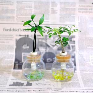 土なし 清潔 水やり簡単 セラハイト 良縁を結ぶ『梛(ナギ)の木』とシマトネリコ 2個セット|ceraphyto-world
