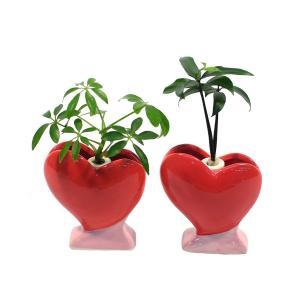 土なし 清潔 水やり簡単 『良縁を結ぶ梛(ナギ)の木』『傘の木 シェフレラ』と ハート型陶器鉢 2個セット|ceraphyto-world
