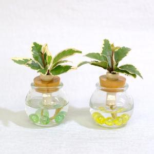 土なし 清潔 水やり簡単 セラハイト 山橘(やまたちばな) 『別名:ヤブコウジ・十両』 2個セット|ceraphyto-world