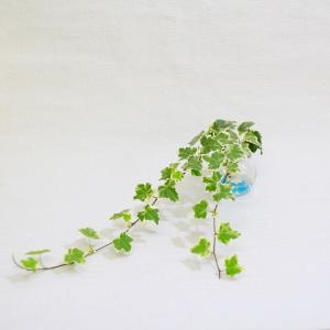 土なし 清潔 水やり簡単 セラハイト イングリッシュアイビー 『別名:セイヨウキヅタ・ヘデラ』 1個セット ceraphyto-world