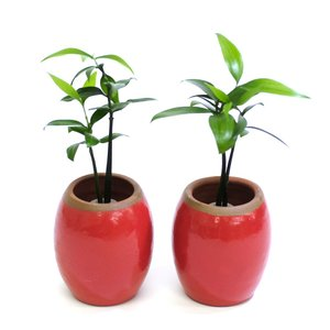 土なし 清潔 水やり簡単 良縁を結ぶ梛(ナギ)の木と 陶房「うさぎ庵」特製陶器鉢 2個セット スタンドタイプ|ceraphyto-world