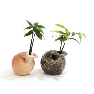 土なし 清潔 水やり簡単 セラハイト 良縁を結ぶ『梛(ナギ)の木』と三浦園芸社製「信楽焼 ひねりつぼ」 2個セット|ceraphyto-world