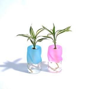 土なし 清潔 水やり簡単 セラハイト 幸福の木『ドラセナ・サンデリアーナ』と ツイストガラス 2個セット|ceraphyto-world
