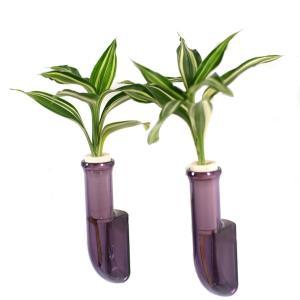 植物を壁に飾る 「幸福の木 ドラセナ・サンデリアーナビクトリー」と壁掛け用容器「シビ smoke」2個セット|ceraphyto-world