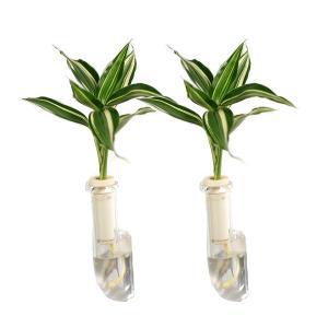 植物を壁に飾る 「幸福の木 ドラセナ・サンデリアーナビクトリー」と壁掛け用容器「シビ clear」2個セット|ceraphyto-world
