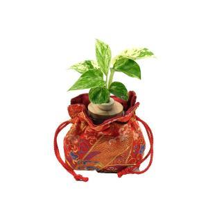 『ポトス (花言葉:永遠の富)』と京都和美オリジナル 西陣金襴使用「巾着袋」付き 土なし 清潔 水やり簡単 セラハイト ceraphyto-world