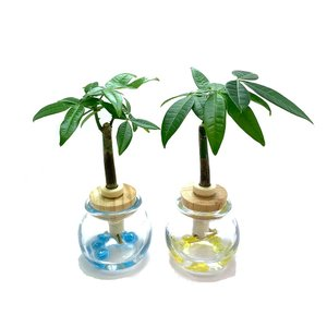 『パキラ (別名:マネーツリー)』とタマビン2個セット 土なし 清潔 水やり簡単 セラハイト|ceraphyto-world