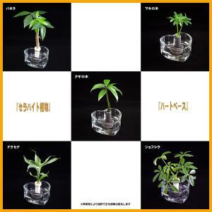 【ミニチュア観葉植物】「セラハイト」と「ガラス製 ハートベース」2個セット スタンド式【植物は数種類から選択いだけます】【土なし 清潔 水やり簡単】|ceraphyto-world