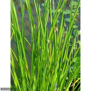 (ビオトープ/水辺植物)カンガレイ(1ポット分)