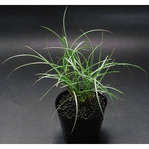 (ビオトープ)水辺植物 ヤクシマススキ(1ポット分) chanet