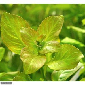 (水草)ルドウィジア レペンス グリーン(無農薬)(3本)|chanet