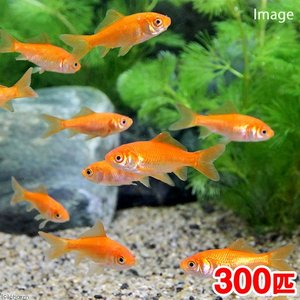 (金魚)生餌 小赤 エサ用金魚 大和郡山産(300匹) エサ金 餌金|chanet