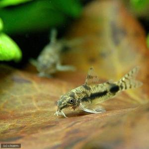 メーカー:■25〜30 メーカー品番: _aqua sfset 熱帯魚・エビ他 コリドラス ちびコリ...